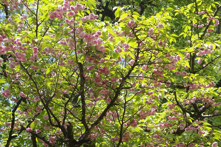 キクザクラ~鶴来樹木公園(2)_d0043136_19445818.jpg