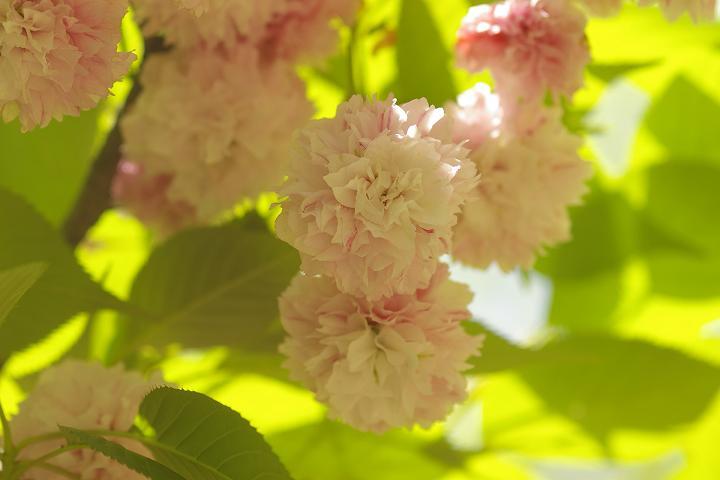 キクザクラ~鶴来樹木公園(2)_d0043136_19454095.jpg