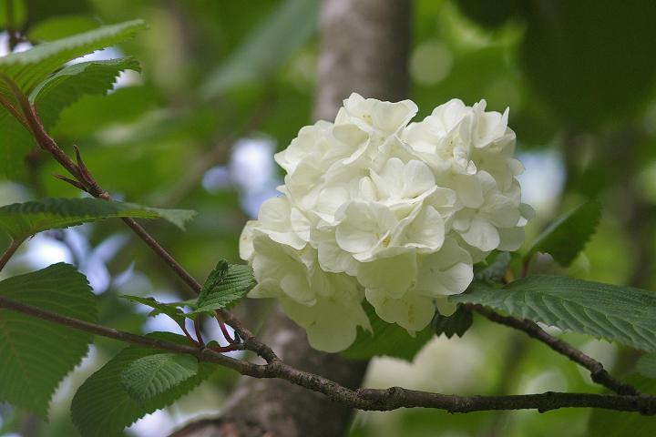 キクザクラ~鶴来樹木公園(2)_d0043136_19472586.jpg