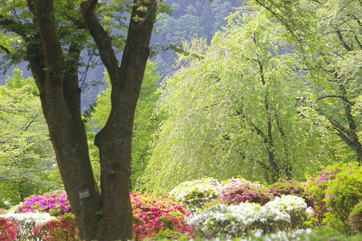 キクザクラ~鶴来樹木公園(2)_d0043136_19492758.jpg