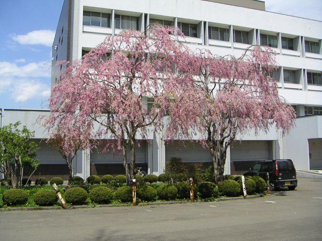 しだれ桜とCoSTEPの思い出_c0025115_1345626.jpg
