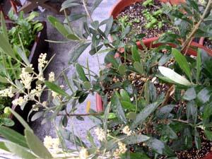 オリーブの花。_a0026127_1783459.jpg