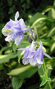 淡い青のオダマキ(八重) Aquilegia sp._d0016347_13183631.jpg
