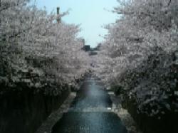 目黒川の桜_d0057858_1956404.jpg