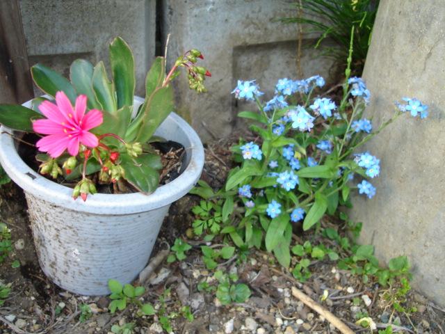 5月の庭のほったらかし_a0025572_7254590.jpg