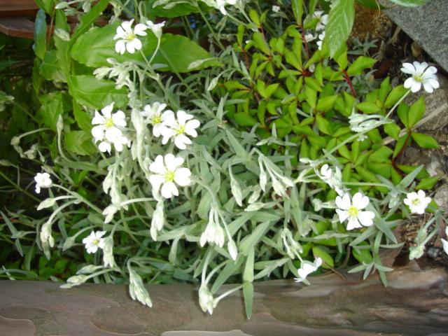 5月の庭のほったらかし_a0025572_7263769.jpg