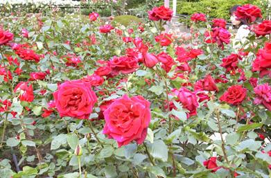 5月26日 バラ園祭り_a0001354_2003657.jpg
