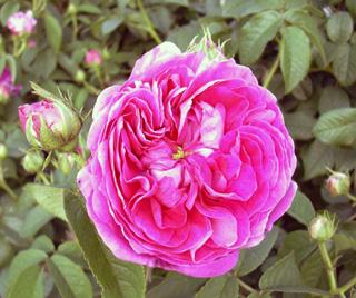 5月26日 バラ園祭り_a0001354_2013366.jpg