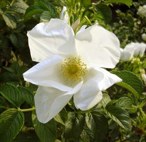 5月26日 バラ園祭り_a0001354_2024552.jpg