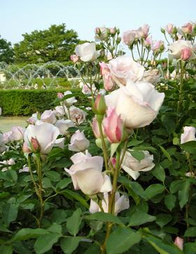 5月26日 バラ園祭り_a0001354_2033180.jpg