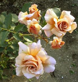 5月26日 バラ園祭り_a0001354_20354100.jpg