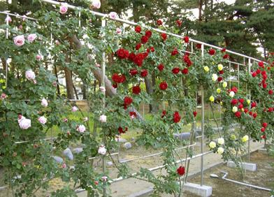5月26日 バラ園祭り_a0001354_203951.jpg