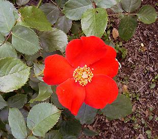 5月26日 バラ園祭り_a0001354_2041644.jpg