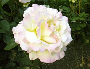 5月26日 バラ園祭り_a0001354_2043157.jpg