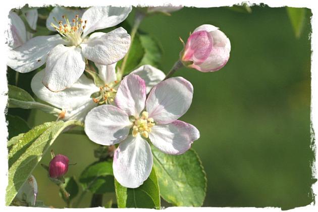 頑張れ! リンゴの木_d0012134_11274970.jpg