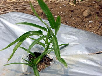 苗の植付けやっと完了_b0042538_1583553.jpg