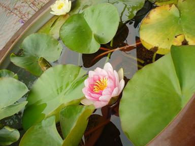 lotus flower_c0069389_1793658.jpg