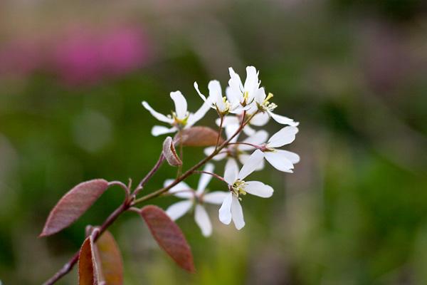 ジューンベリー咲きました。_c0048494_10473587.jpg