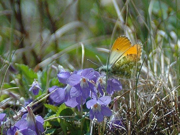 上高地【沢の上部での蝶の撮影/クモマツマキチョウなど】_c0045352_1472512.jpg