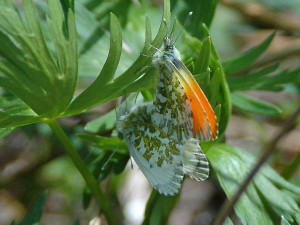 上高地【沢の上部での蝶の撮影/クモマツマキチョウなど】_c0045352_148240.jpg