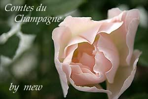 Rose_b0045855_18172574.jpg