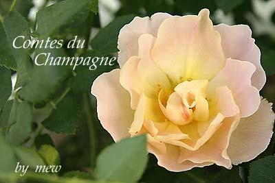 Rose_b0045855_1818629.jpg