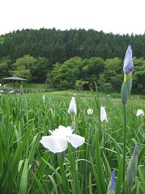 奥別府散策(その2):花菖蒲の園・・・神楽女湖_c0001578_23335810.jpg