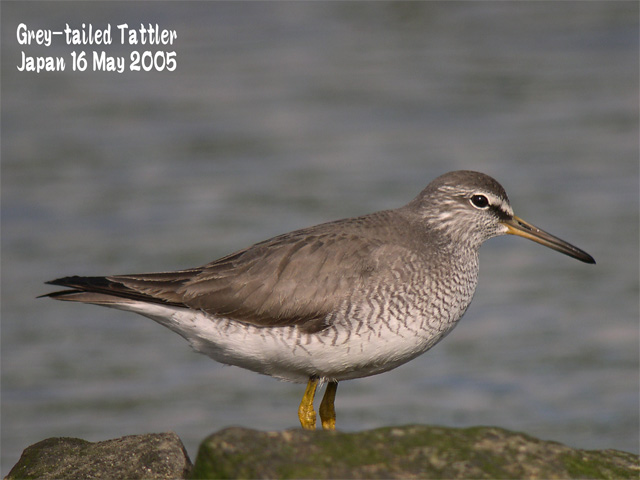 キアシシギ 1      Grey-tailed Tattler 1_c0071489_1022521.jpg