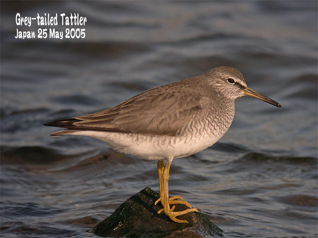 キアシシギ 1      Grey-tailed Tattler 1_c0071489_1023747.jpg