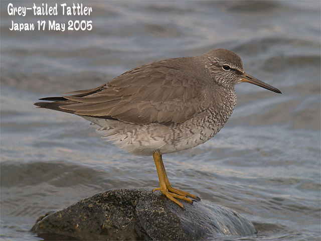 キアシシギ 1      Grey-tailed Tattler 1_c0071489_1953469.jpg