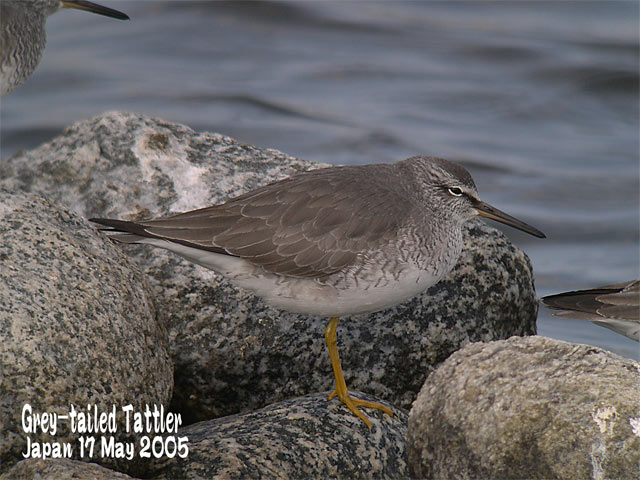 キアシシギ 1      Grey-tailed Tattler 1_c0071489_20471174.jpg
