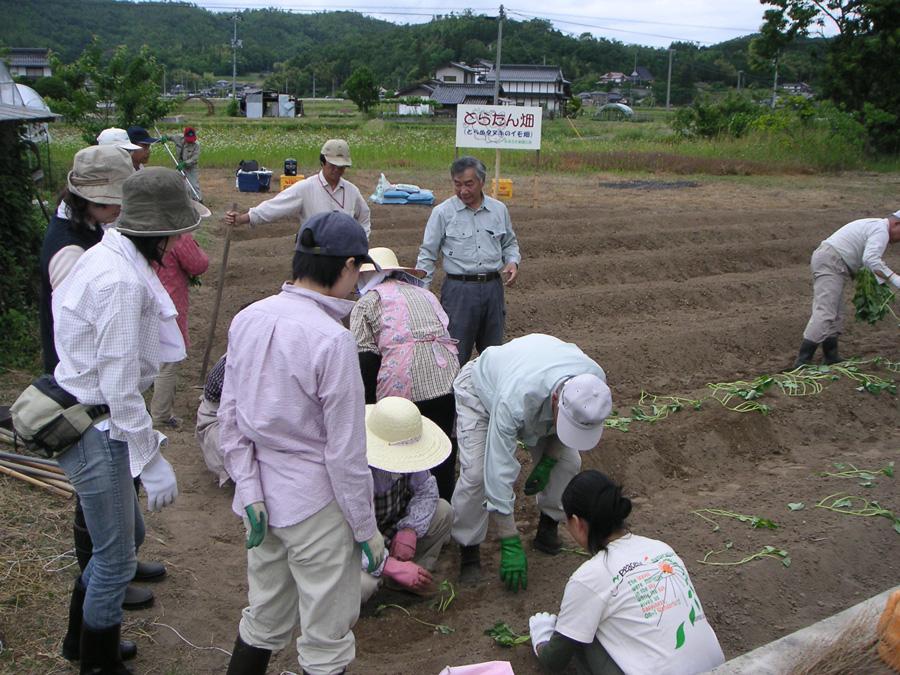 とらたん畑のサツマイモ苗植え_d0028272_2336528.jpg