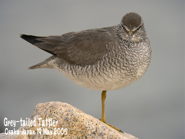 キアシシギ 1      Grey-tailed Tattler 1_c0071489_0302128.jpg