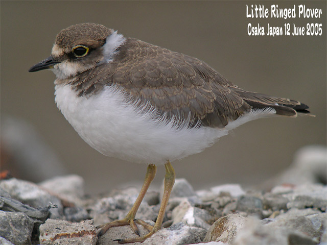 コチドリ   Little Ringed Plover_c0071489_2339557.jpg