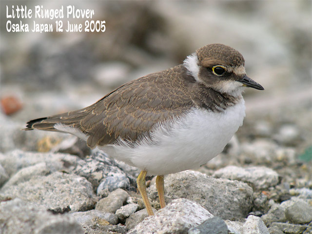 コチドリ   Little Ringed Plover_c0071489_23402271.jpg