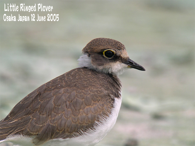 コチドリ   Little Ringed Plover_c0071489_23405761.jpg
