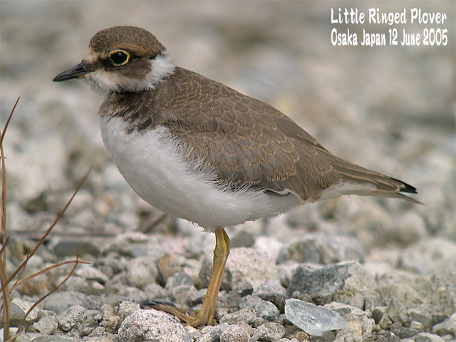 コチドリ   Little Ringed Plover_c0071489_2340979.jpg