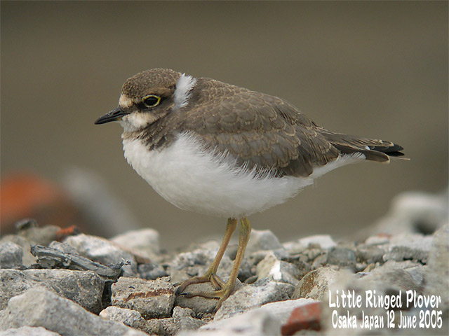 コチドリ   Little Ringed Plover_c0071489_0415790.jpg