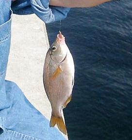 ジーンズの生地のシャツの腕をぐっと捲り上げて腕を伸ばし、釣った魚をぶら下げている写真。白っぽい魚の胸鰭と尾っぽが黄色くて綺麗な魚です。魚の向こうの海面の青さが、一面の海の綺麗さを物語っているようです。