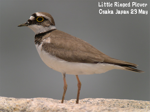 コチドリ   Little Ringed Plover_c0071489_22174026.jpg