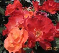 バラの香りにつつまれて。_d0026905_2074432.jpg