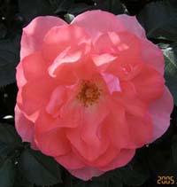 バラの香りにつつまれて。_d0026905_209224.jpg