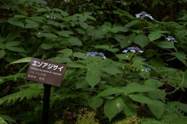 エゾアジサイ~金沢城公園_d0043136_20124356.jpg