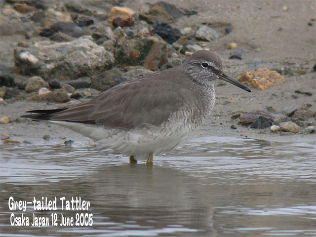 キアシシギ 1      Grey-tailed Tattler 1_c0071489_22334341.jpg
