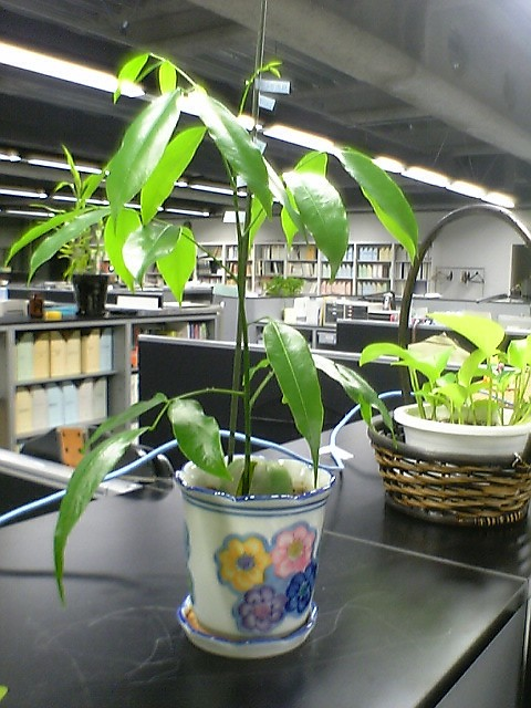 ジャックと豆の木、発芽から18日経過_a0028804_23411760.jpg