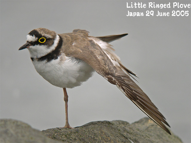 コチドリ   Little Ringed Plover_c0071489_19524323.jpg