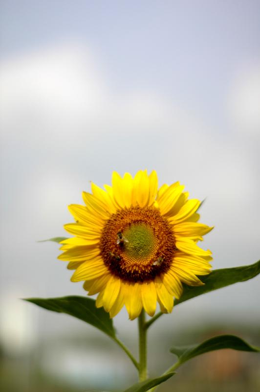 sunflower_c0075341_7233244.jpg