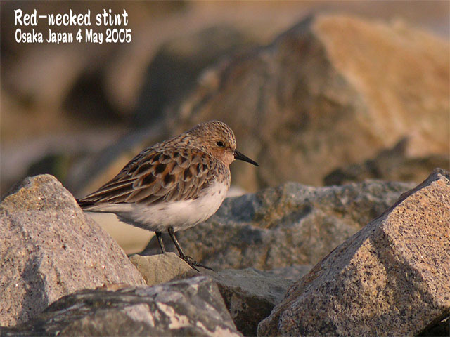 トウネン Red-necked stint_c0071489_22502496.jpg