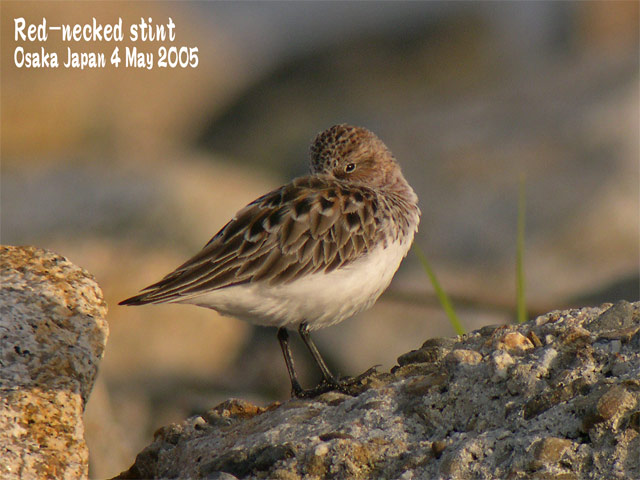トウネン Red-necked stint_c0071489_225042100.jpg