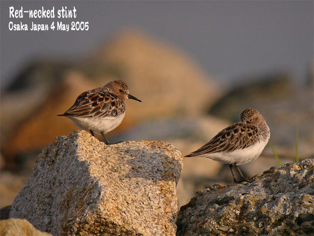 トウネン Red-necked stint_c0071489_22505656.jpg
